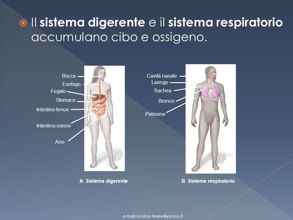 Il sistema digerente e il sistema respiratorio accumulano cibo e ossigeno.