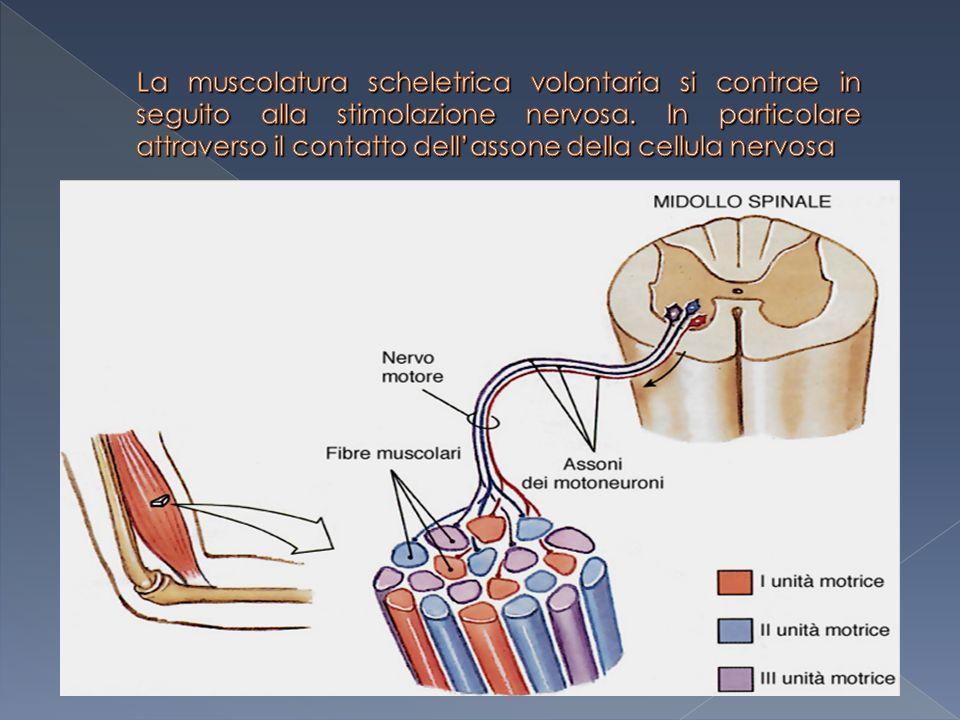 La muscolatura scheletrica volontaria si contrae in seguito alla stimolazione nervosa.