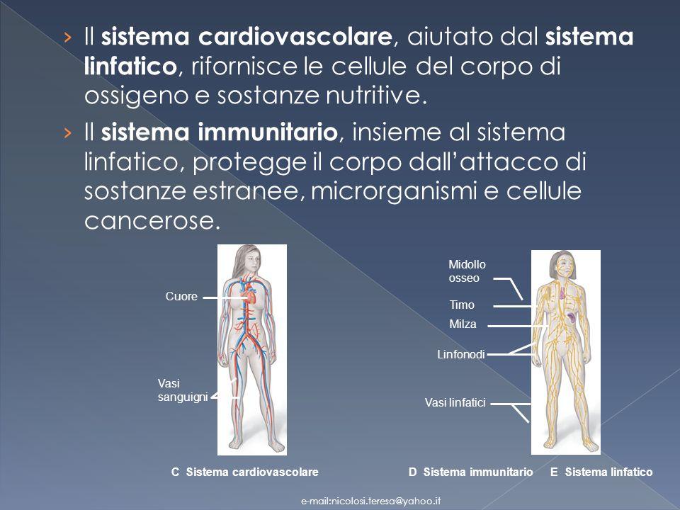 Il sistema cardiovascolare, aiutato dal sistema linfatico, rifornisce le cellule del corpo di ossigeno e sostanze nutritive.