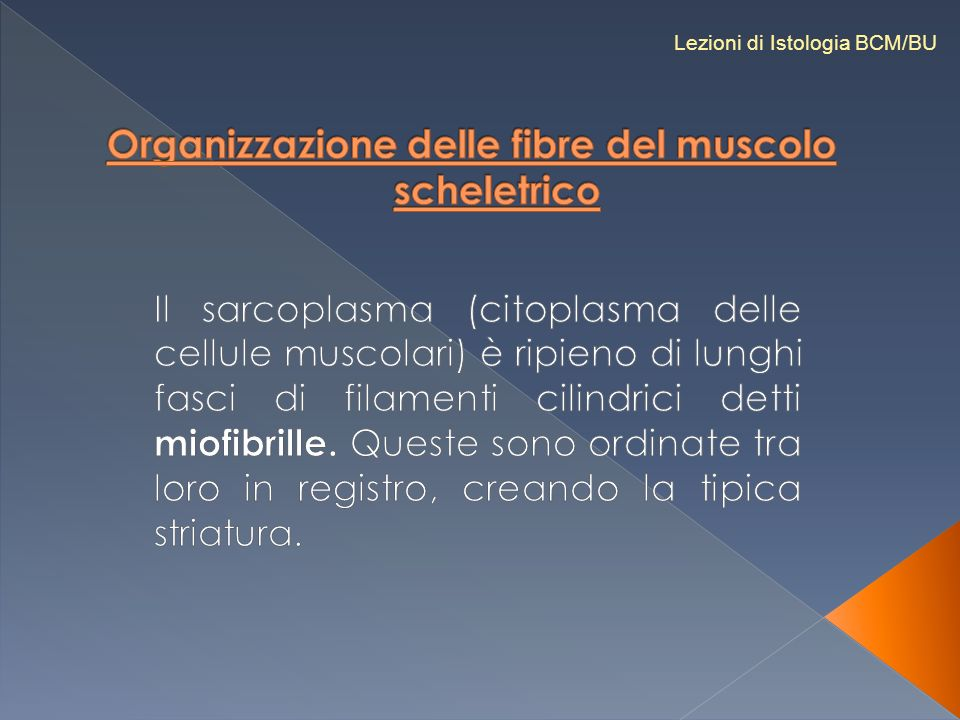 Organizzazione delle fibre del muscolo scheletrico