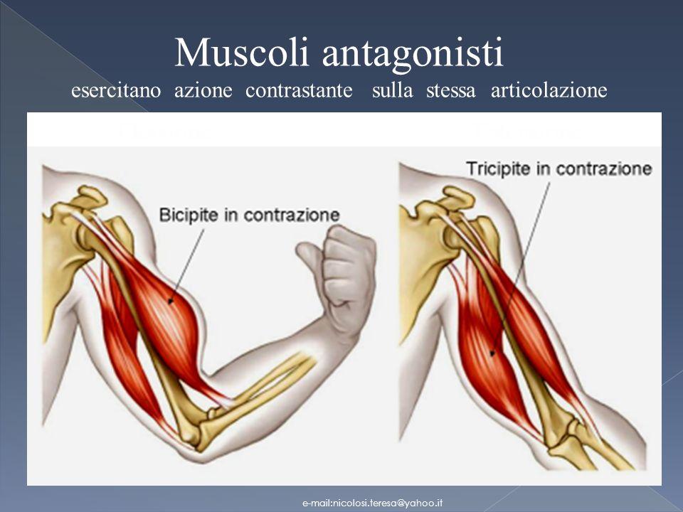 Muscoli antagonisti esercitano azione contrastante sulla stessa articolazione