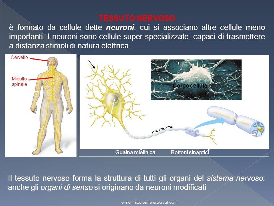 Cellula di Schwann Dendriti. Corpo. cellulare. Nucleo. Assone. Guaina mielinica. Nodo di Ranvier.