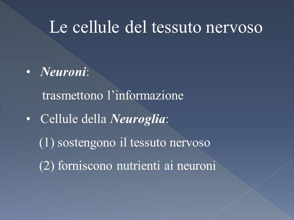 Le cellule del tessuto nervoso