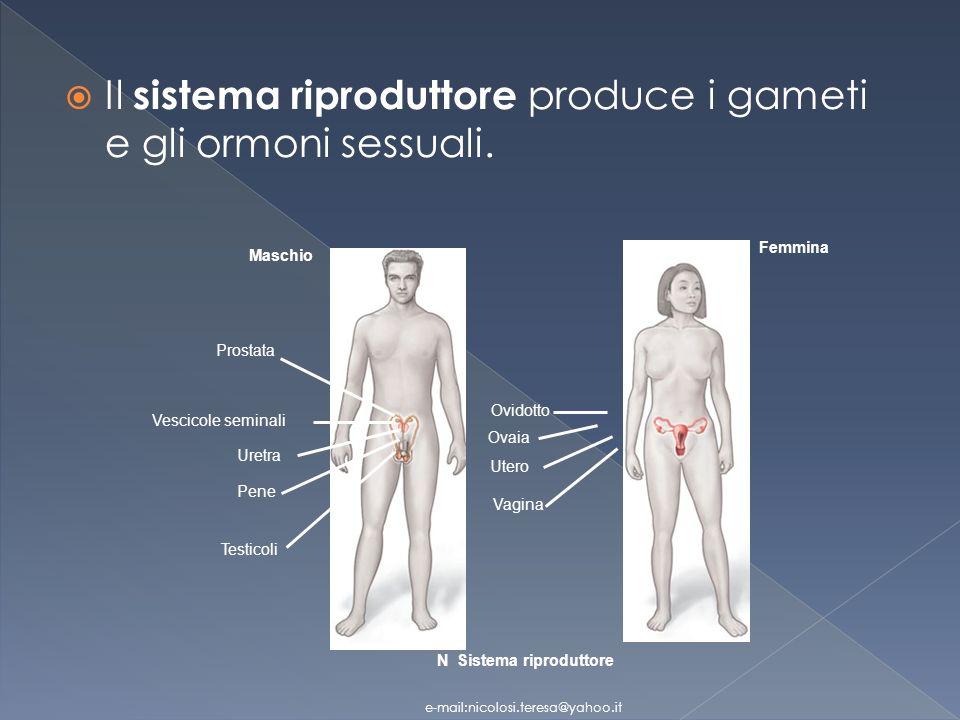 Il sistema riproduttore produce i gameti e gli ormoni sessuali.