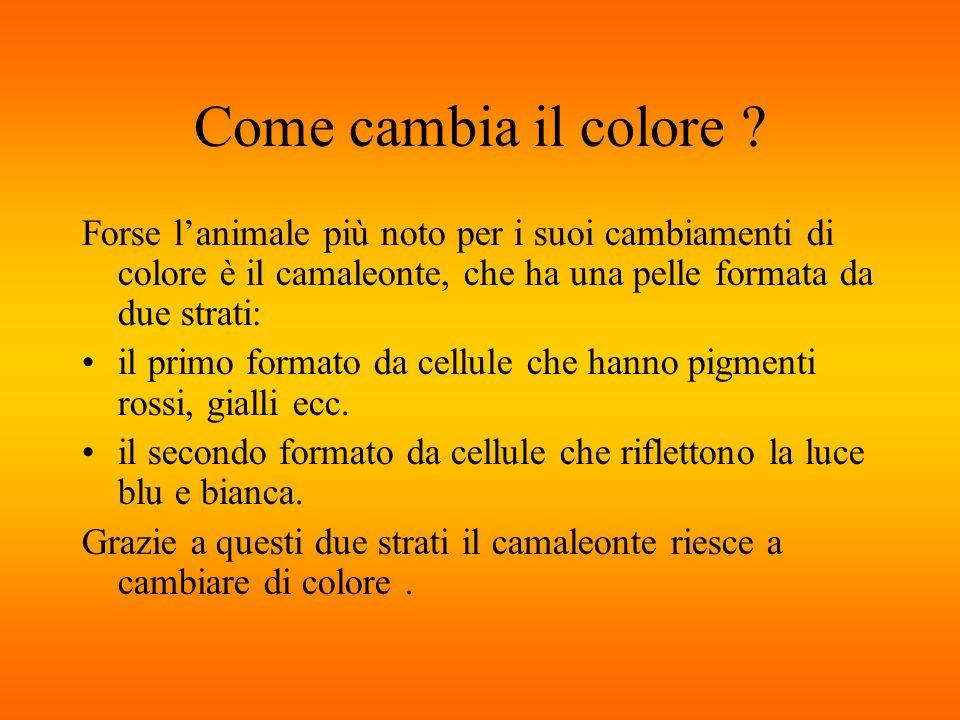 Come cambia il colore Forse l'animale più noto per i suoi cambiamenti di colore è il camaleonte, che ha una pelle formata da due strati: