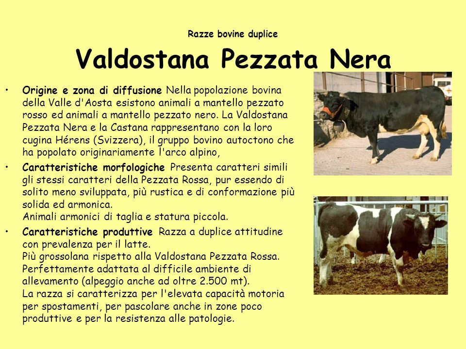 Razze bovine duplice Valdostana Pezzata Nera