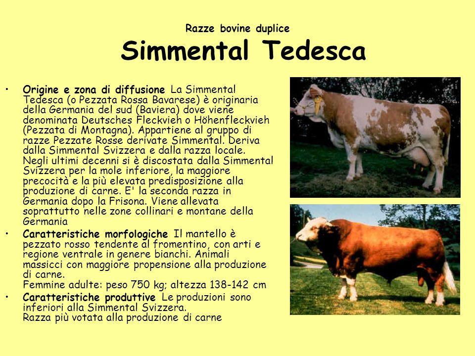 Razze bovine duplice Simmental Tedesca
