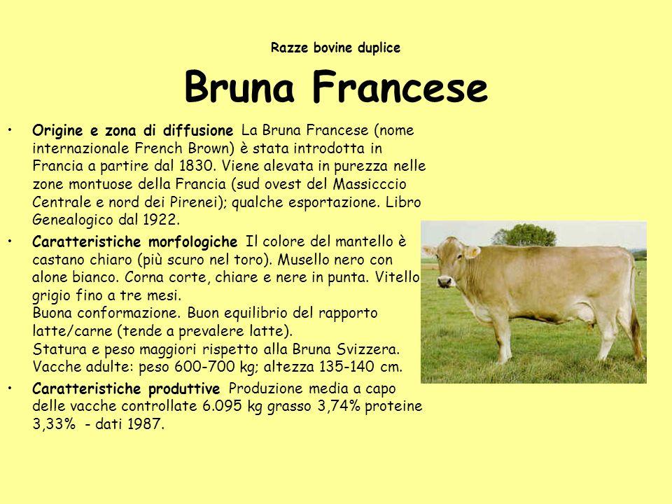 Razze bovine duplice Bruna Francese