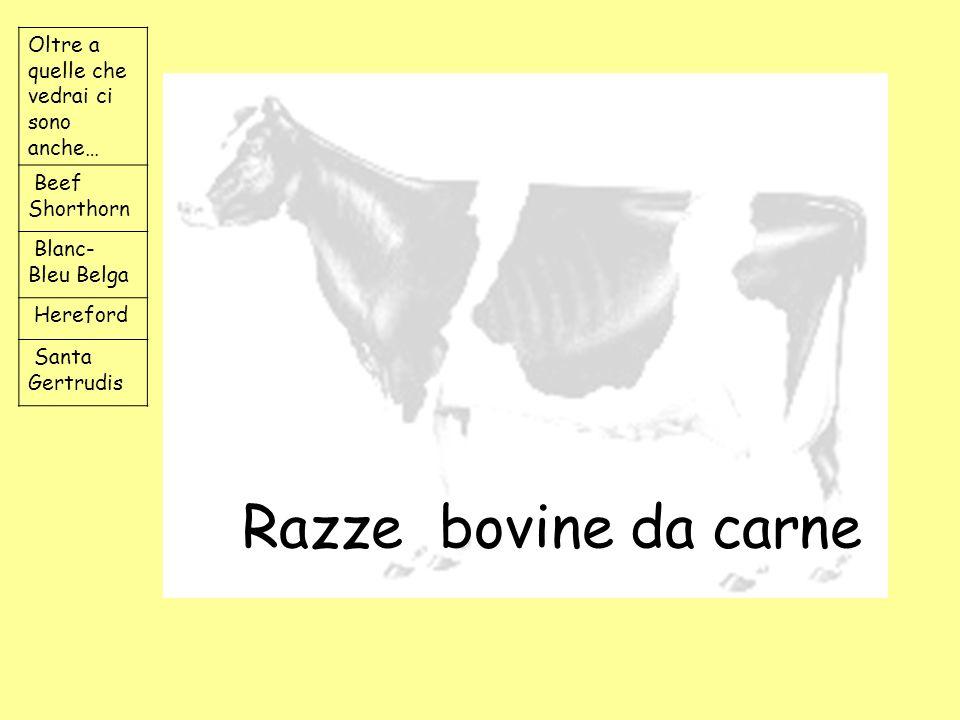 Razze bovine da carne Oltre a quelle che vedrai ci sono anche…