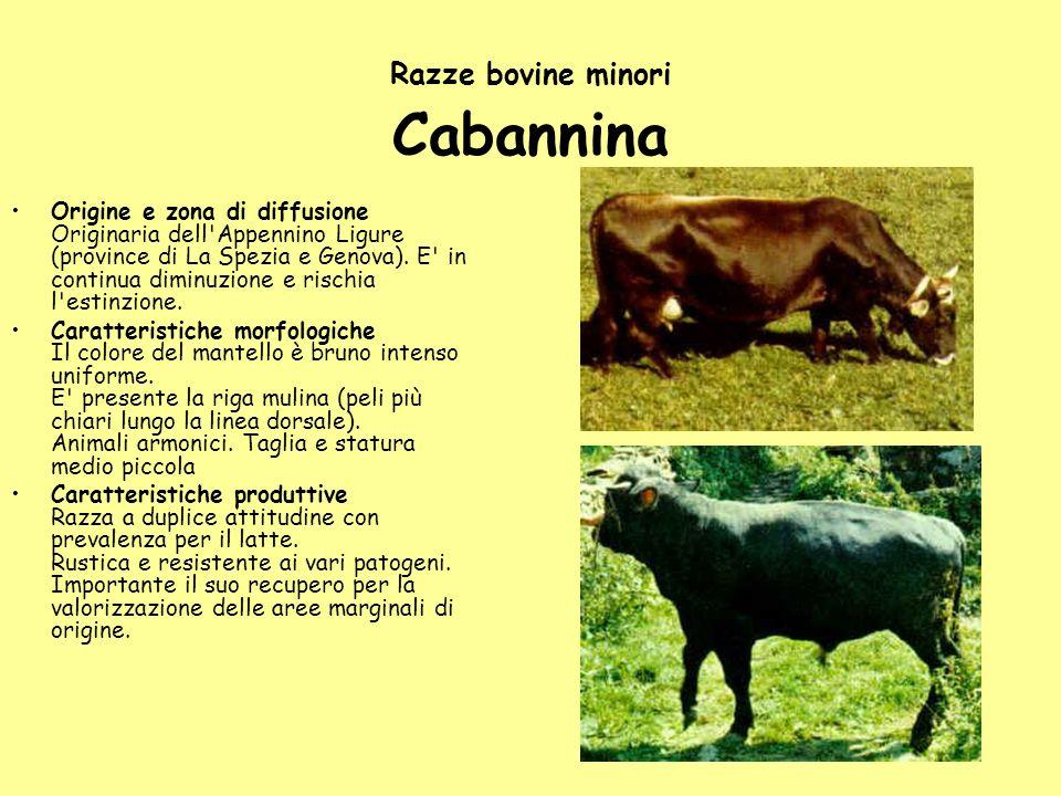 Razze bovine minori Cabannina