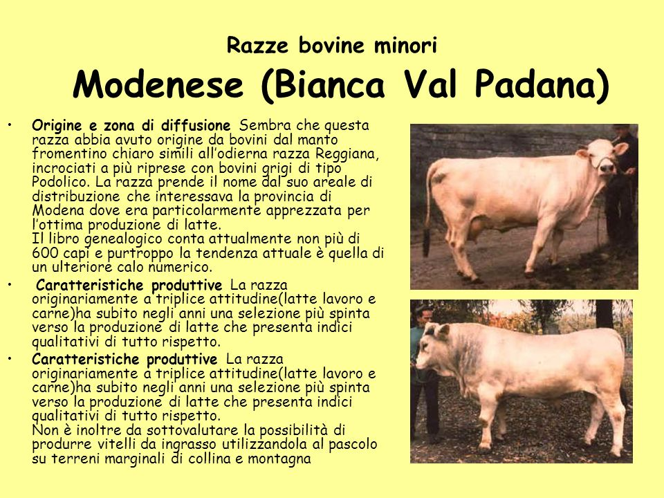 Razze bovine minori Modenese (Bianca Val Padana)