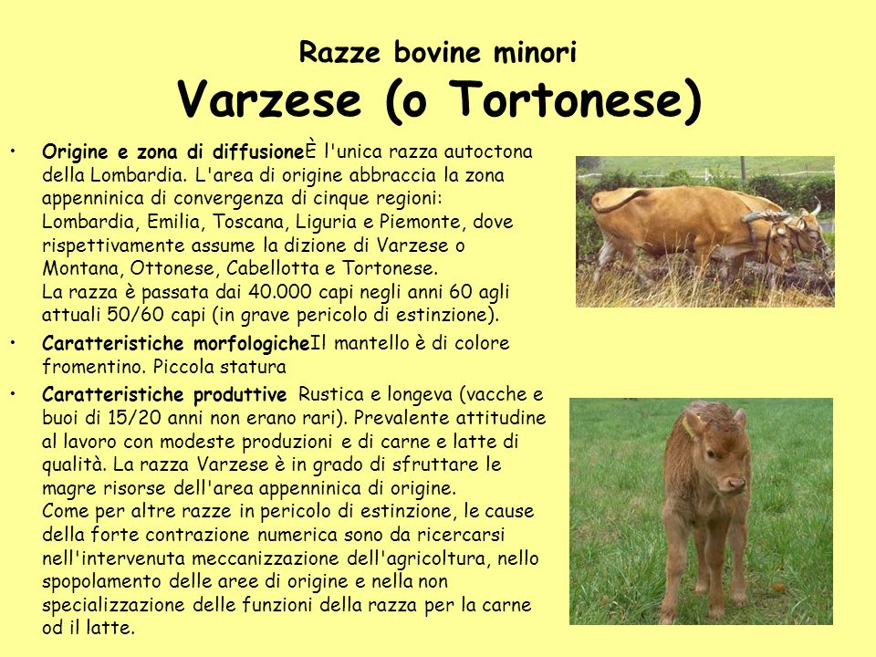 Razze bovine minori Varzese (o Tortonese)