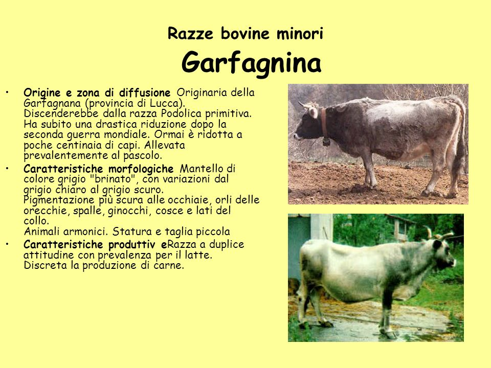 Razze bovine minori Garfagnina
