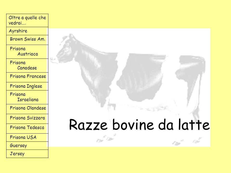 Razze bovine da latte Oltre a quelle che vedrai…. Ayrshire