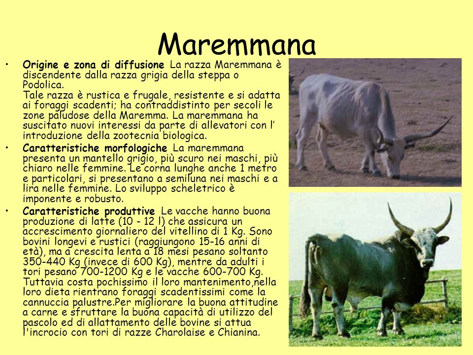 Maremmana