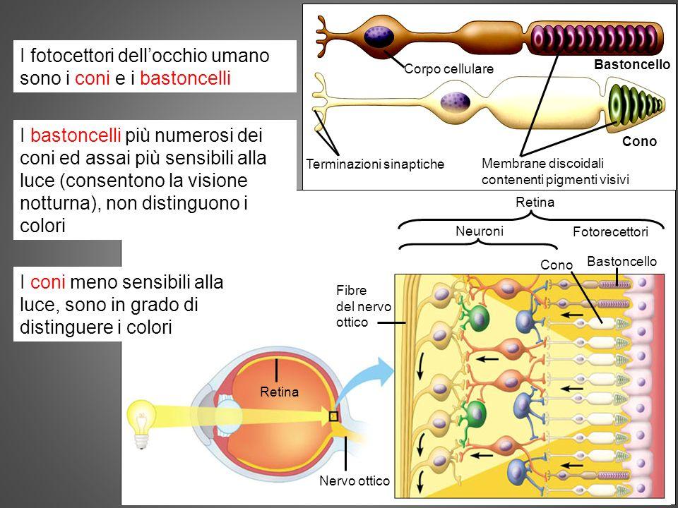 I fotocettori dell'occhio umano sono i coni e i bastoncelli