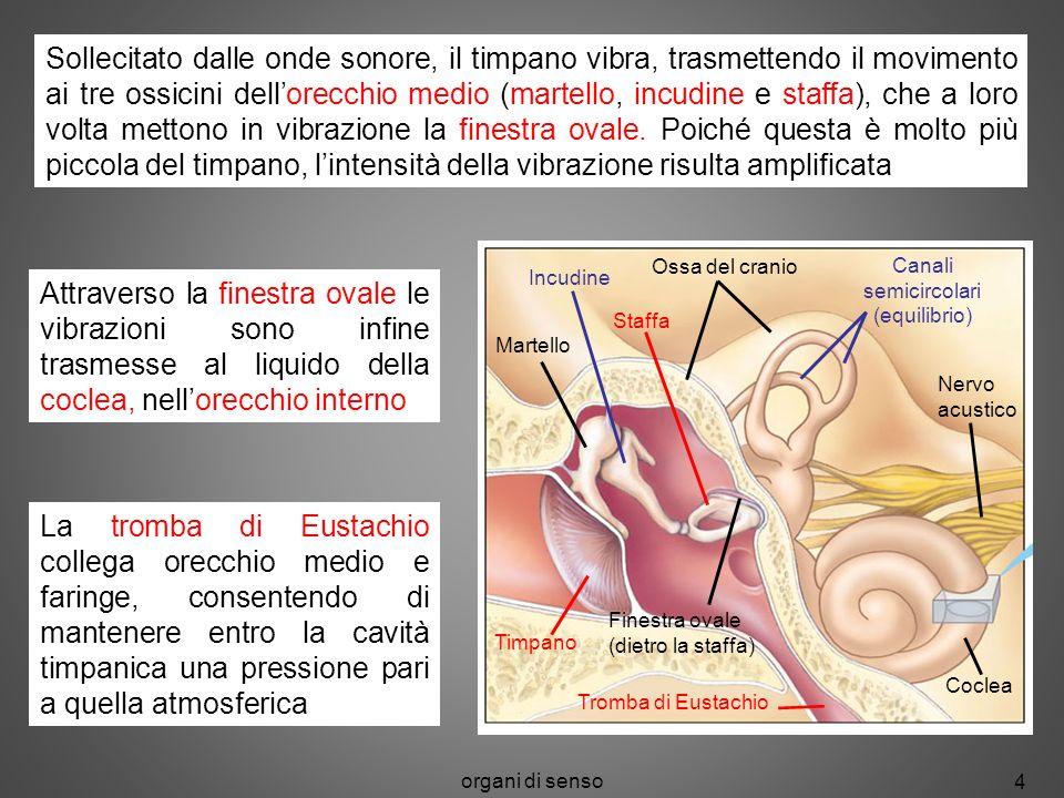 Sollecitato dalle onde sonore, il timpano vibra, trasmettendo il movimento ai tre ossicini dell'orecchio medio (martello, incudine e staffa), che a loro volta mettono in vibrazione la finestra ovale. Poiché questa è molto più piccola del timpano, l'intensità della vibrazione risulta amplificata