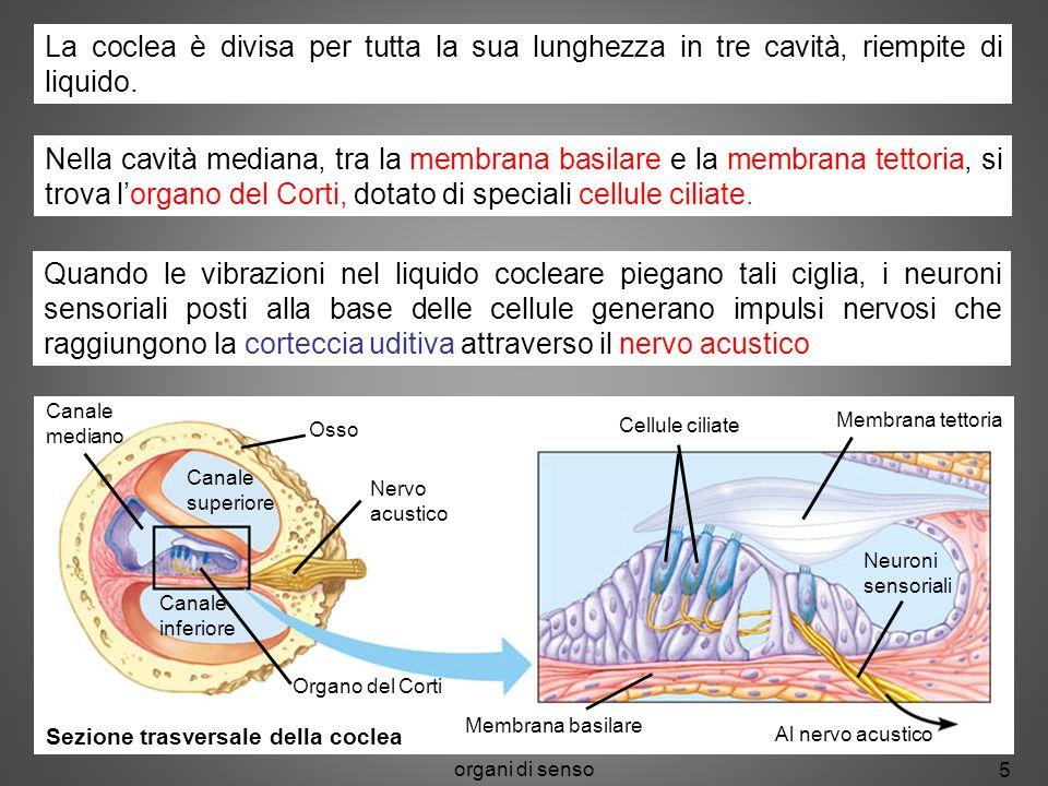 La coclea è divisa per tutta la sua lunghezza in tre cavità, riempite di liquido.