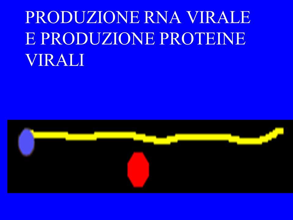 PRODUZIONE RNA VIRALE E PRODUZIONE PROTEINE VIRALI