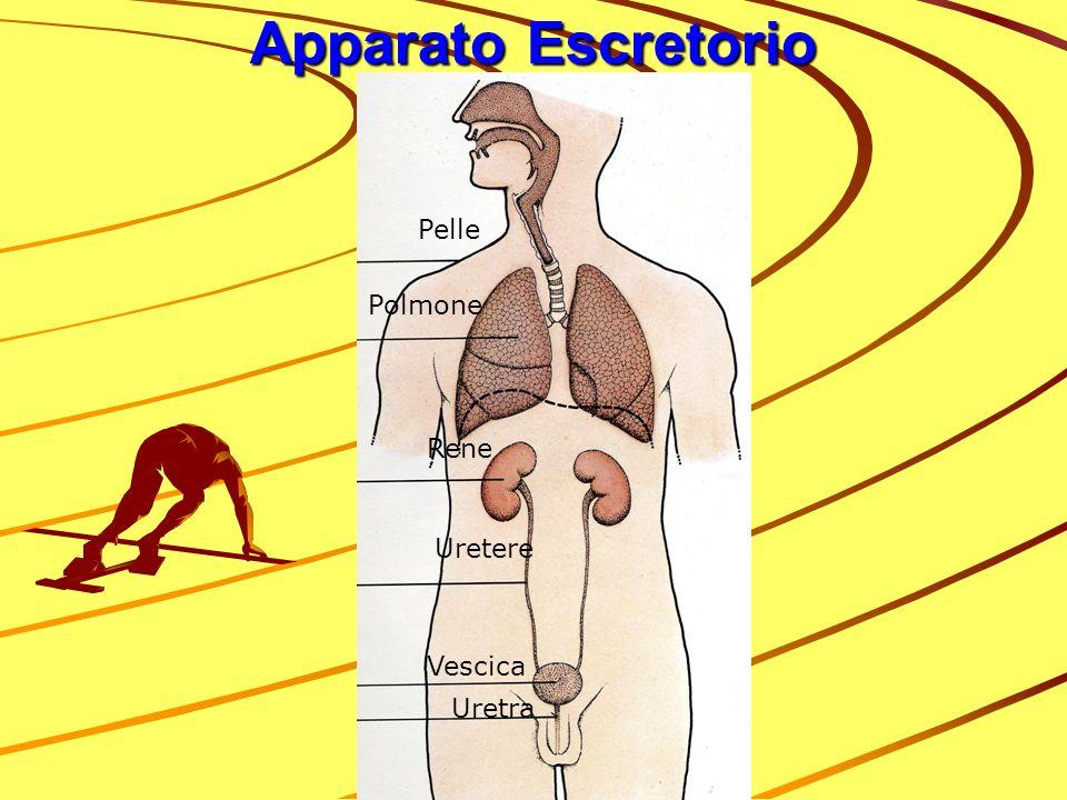 Apparato Escretorio Pelle Polmone Rene Uretere Vescica Uretra