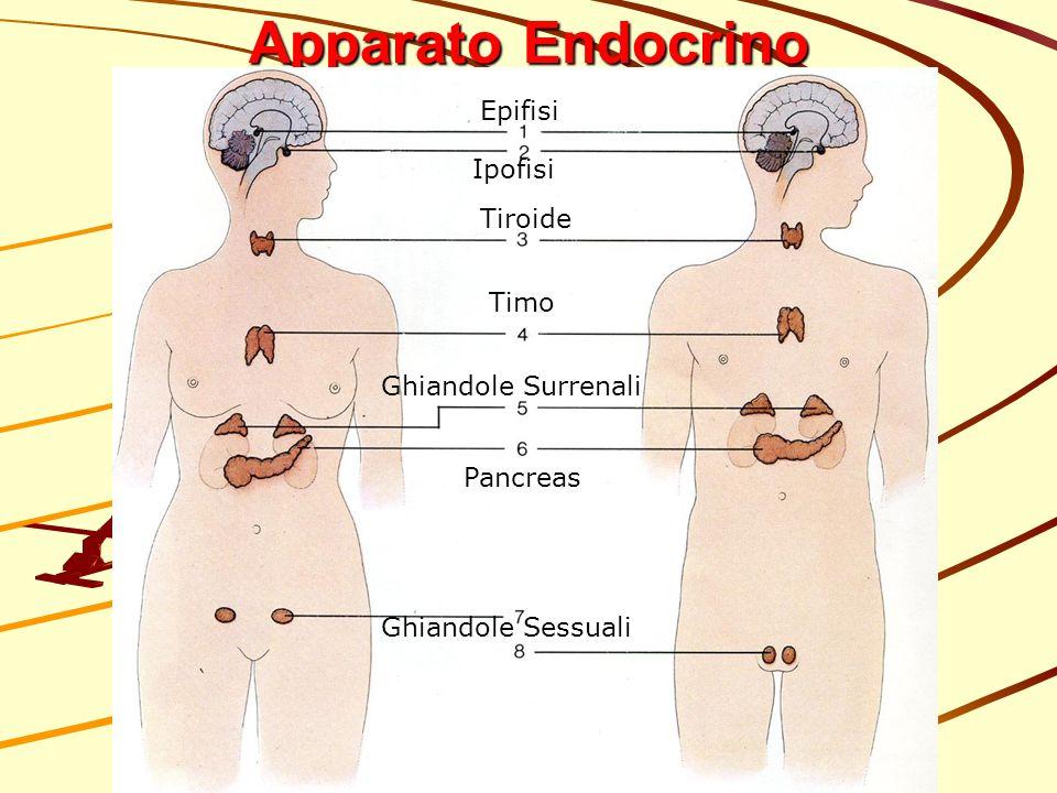 Apparato Endocrino Epifisi Ipofisi Tiroide Timo Ghiandole Surrenali