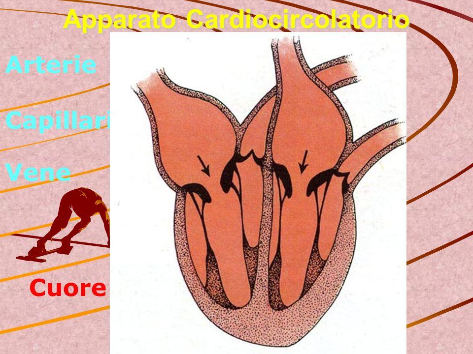 Apparato Cardiocircolatorio