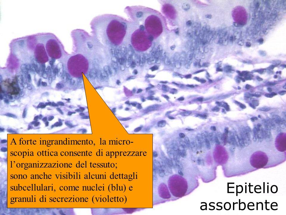 A forte ingrandimento, la micro-scopia ottica consente di apprezzare l'organizzazione del tessuto; sono anche visibili alcuni dettagli subcellulari, come nuclei (blu) e granuli di secrezione (violetto)