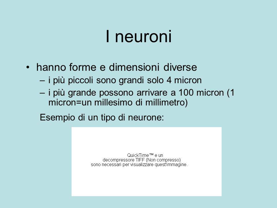 I neuroni hanno forme e dimensioni diverse