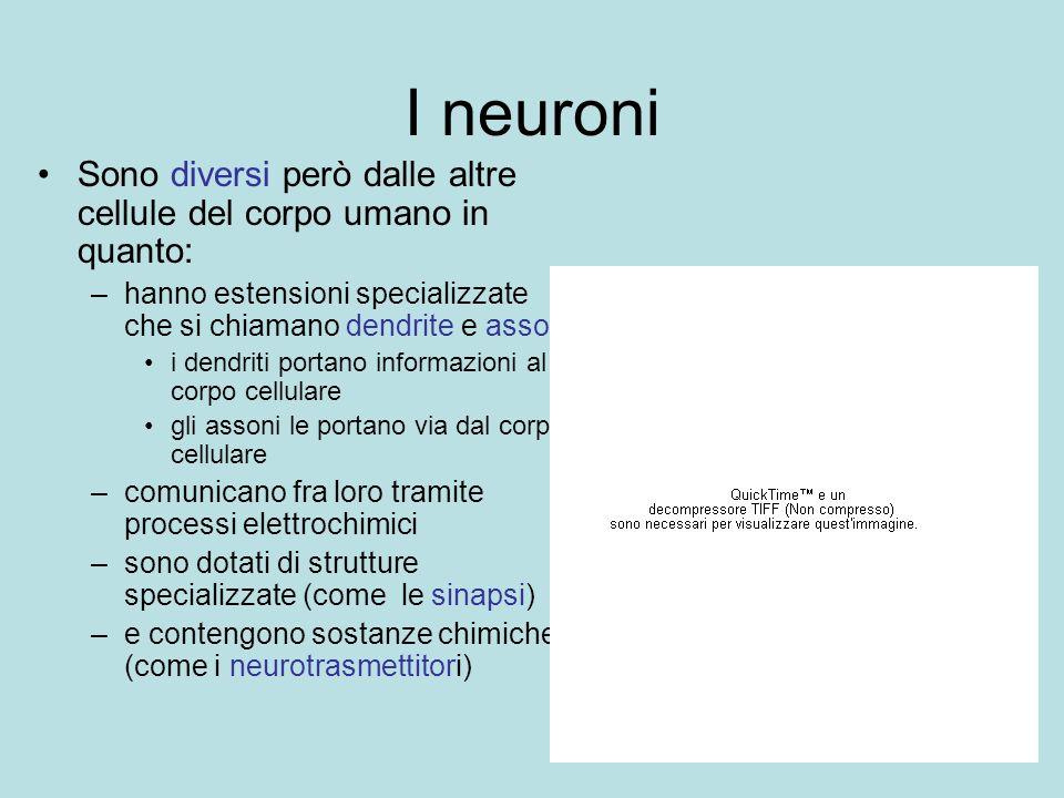 I neuroni Sono diversi però dalle altre cellule del corpo umano in quanto: hanno estensioni specializzate che si chiamano dendrite e assoni.