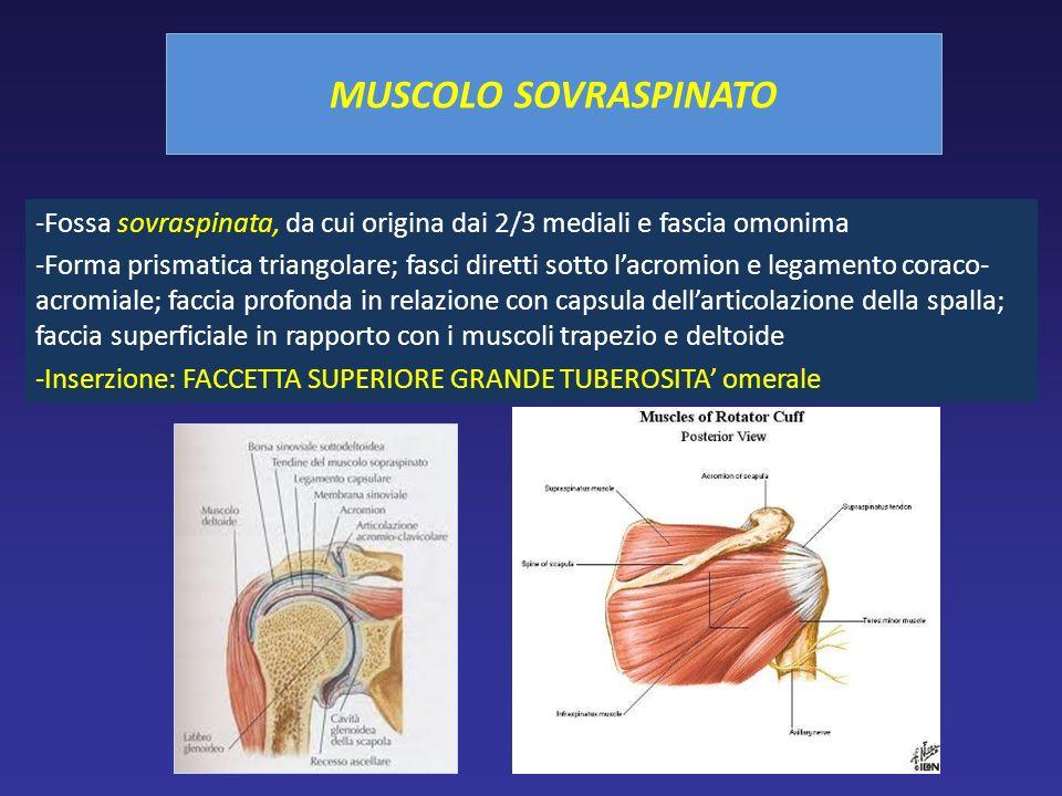 MUSCOLO SOVRASPINATO Fossa sovraspinata, da cui origina dai 2/3 mediali e fascia omonima.