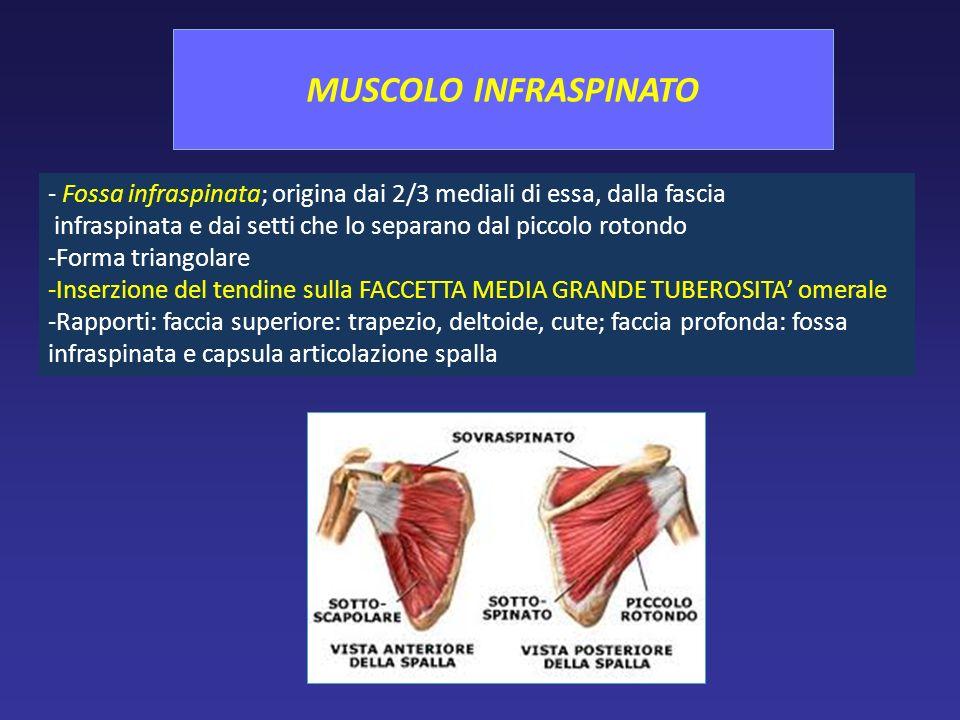 MUSCOLO INFRASPINATO - Fossa infraspinata; origina dai 2/3 mediali di essa, dalla fascia.