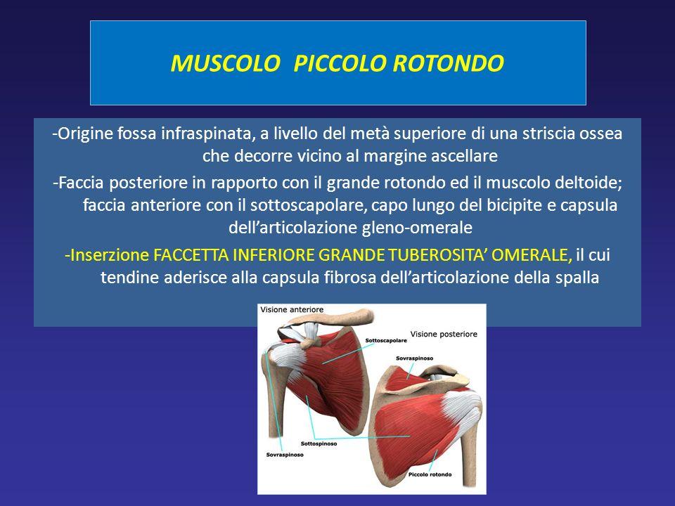 MUSCOLO PICCOLO ROTONDO