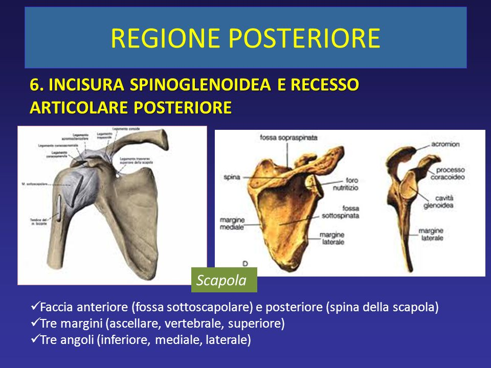 6. INCISURA SPINOGLENOIDEA E RECESSO ARTICOLARE POSTERIORE