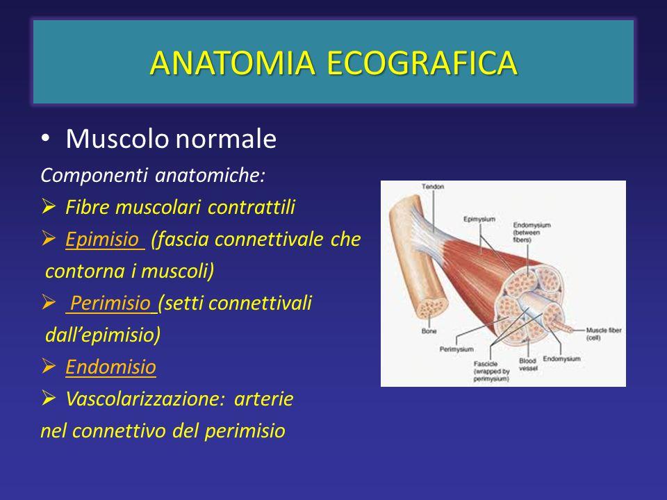 ANATOMIA ECOGRAFICA Muscolo normale Componenti anatomiche: