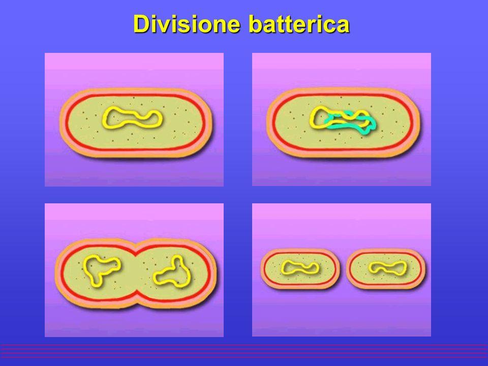 Divisione batterica