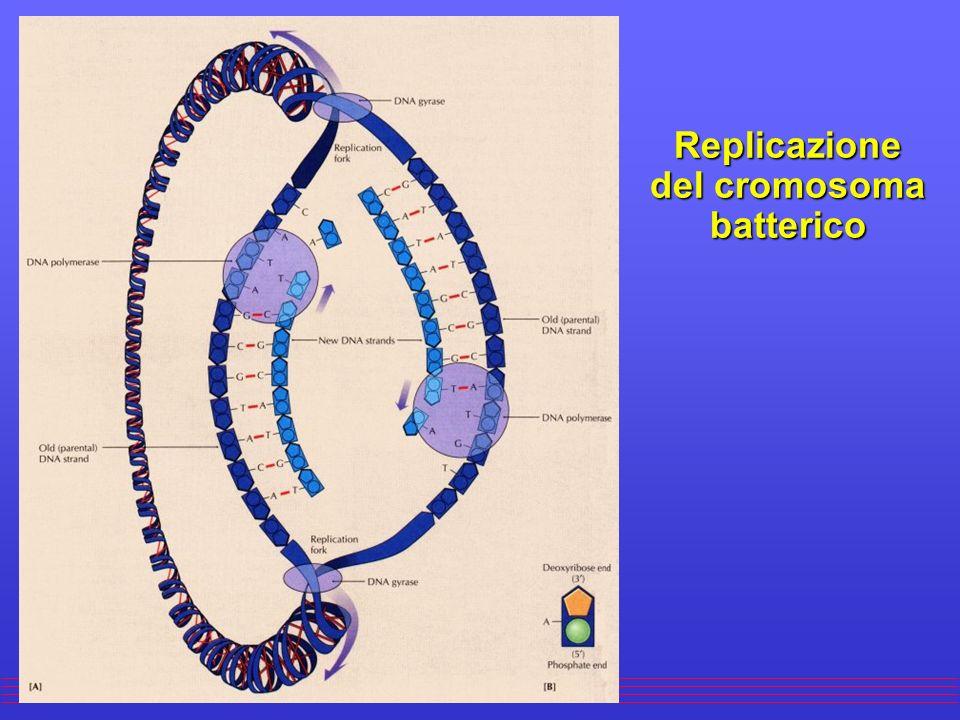Replicazione del cromosoma batterico