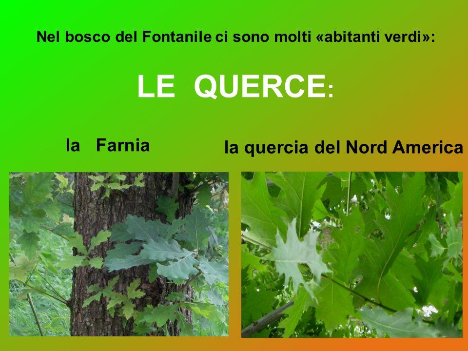 LE QUERCE: la Farnia la quercia del Nord America