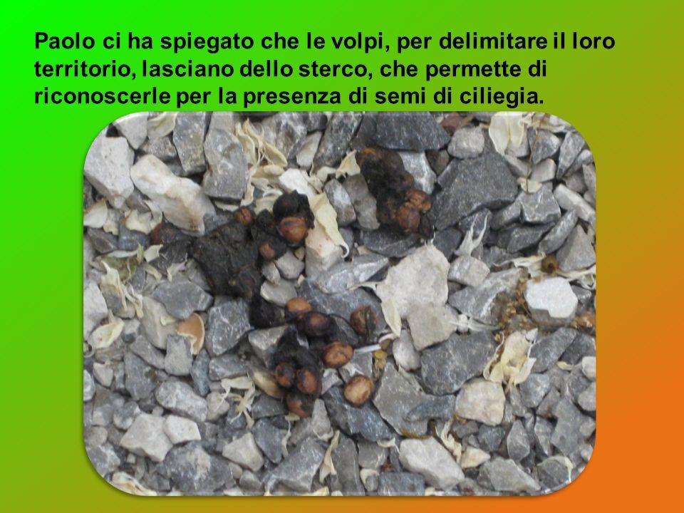 Paolo ci ha spiegato che le volpi, per delimitare il loro territorio, lasciano dello sterco, che permette di riconoscerle per la presenza di semi di ciliegia.