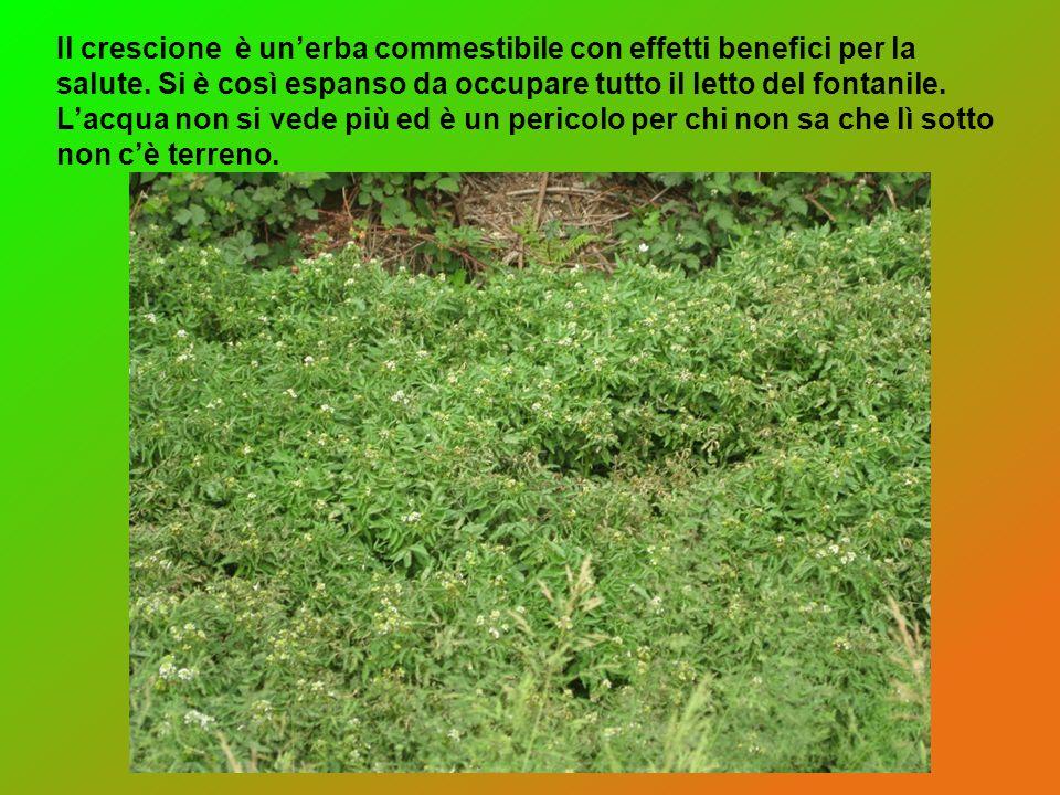 Il crescione è un'erba commestibile con effetti benefici per la salute