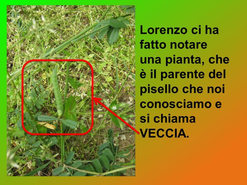 Lorenzo ci ha fatto notare una pianta, che è il parente del pisello che noi conosciamo e si chiama