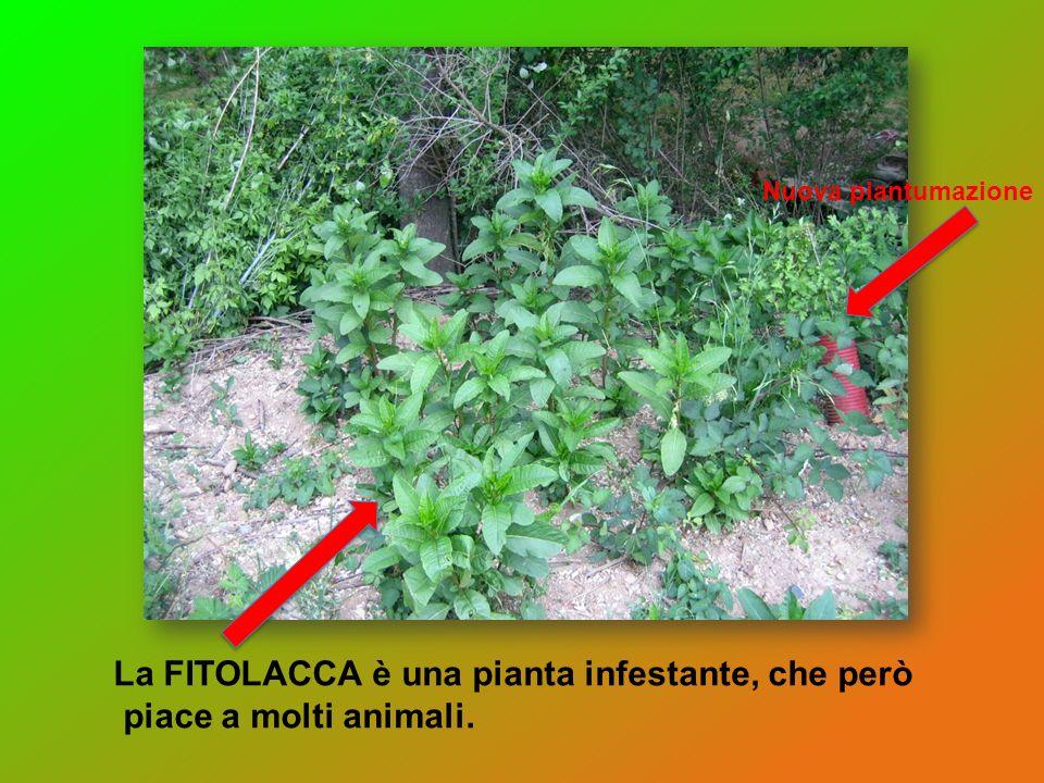 La FITOLACCA è una pianta infestante, che però piace a molti animali.