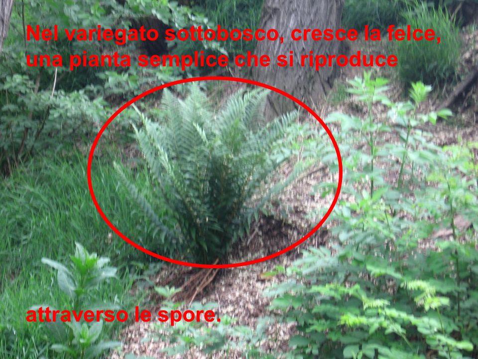 Nel variegato sottobosco, cresce la felce, una pianta semplice che si riproduce