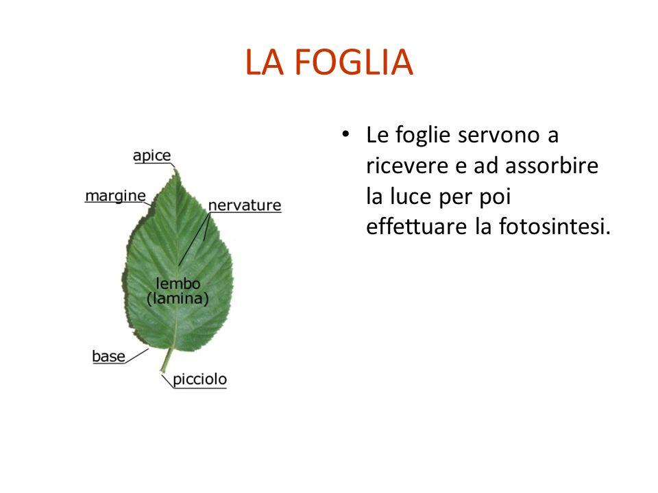 LA FOGLIA Le foglie servono a ricevere e ad assorbire la luce per poi effettuare la fotosintesi.