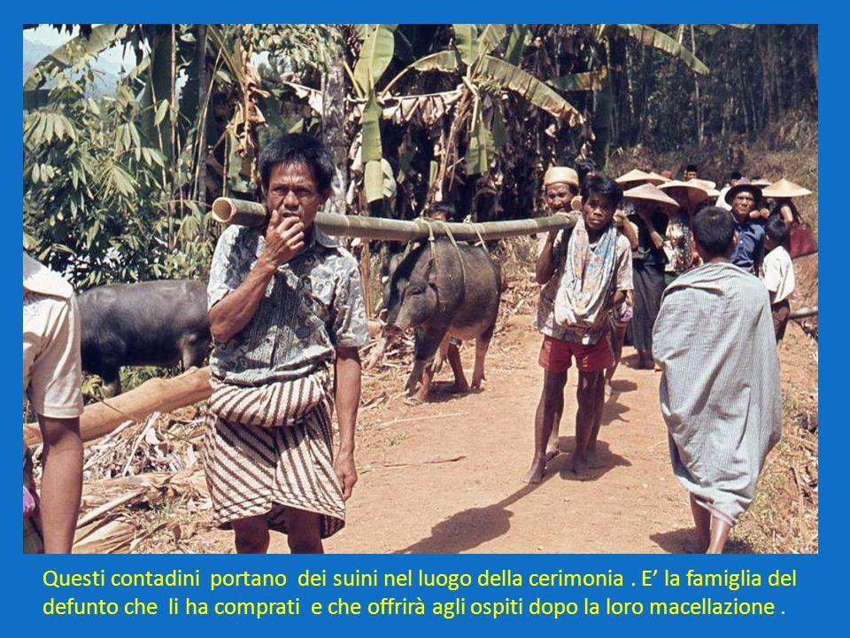 Questi contadini portano dei suini nel luogo della cerimonia
