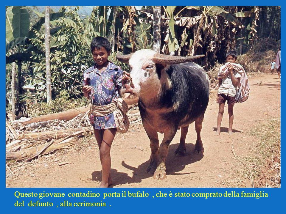 Questo giovane contadino porta il bufalo , che è stato comprato della famiglia del defunto , alla cerimonia .