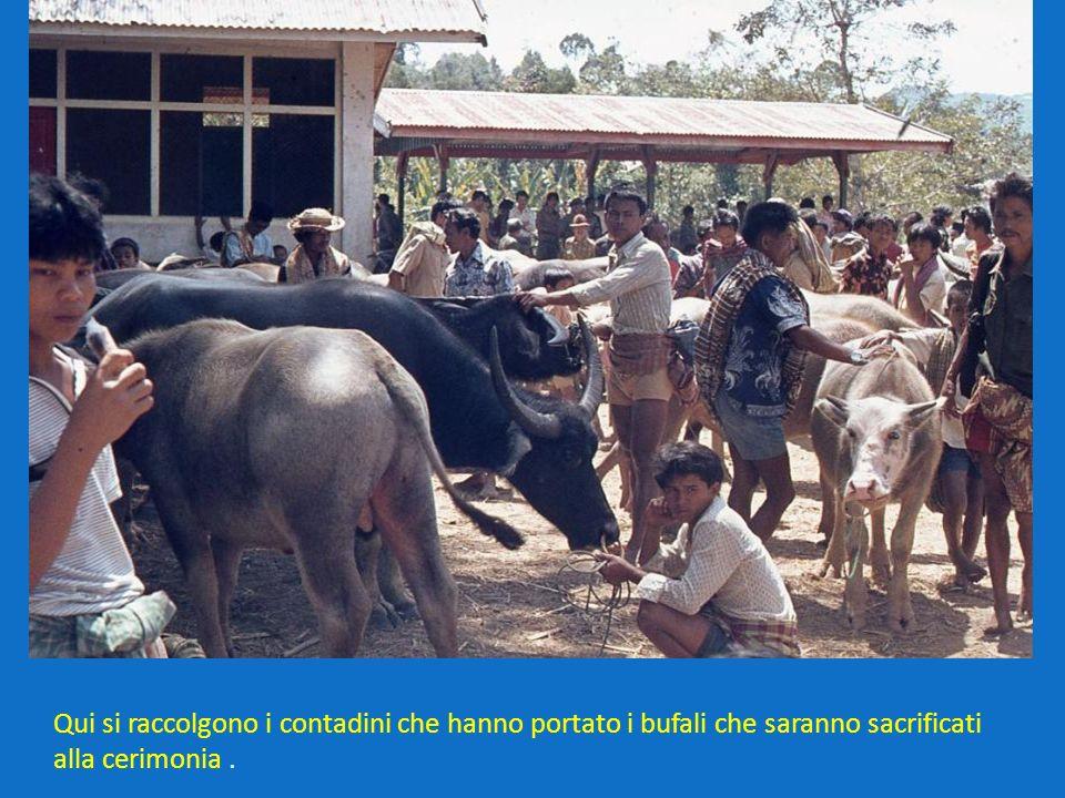 Qui si raccolgono i contadini che hanno portato i bufali che saranno sacrificati alla cerimonia .