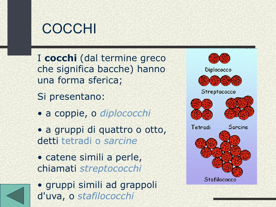 COCCHI I cocchi (dal termine greco che significa bacche) hanno una forma sferica; Si presentano: a coppie, o diplococchi.