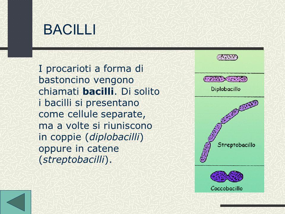 BACILLI