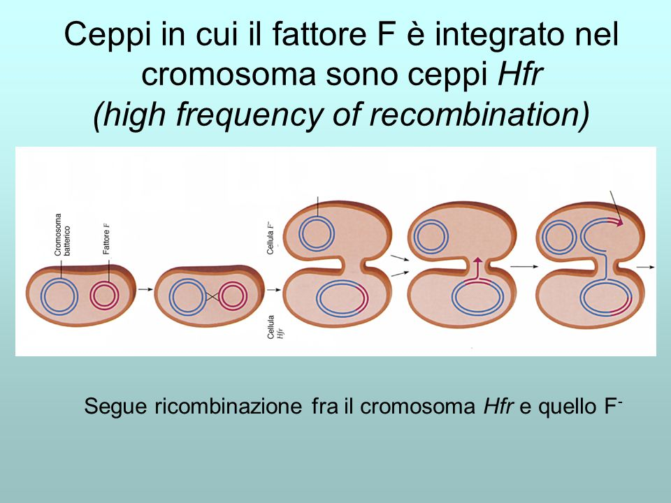 Ceppi in cui il fattore F è integrato nel cromosoma sono ceppi Hfr (high frequency of recombination)