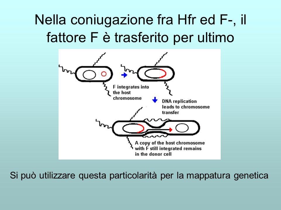 Nella coniugazione fra Hfr ed F-, il fattore F è trasferito per ultimo